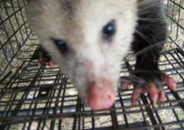 opossum removal 11
