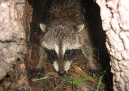 raccoon removal 16